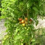 Bio cocktail tomatoes