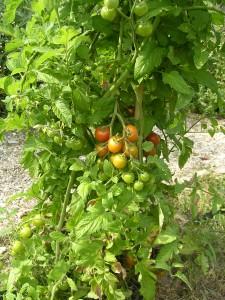 Our vegetables garden