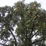 Apples for Calvados