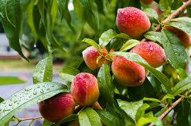 Our bio peach tree