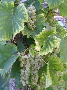 Our vinegar grapes